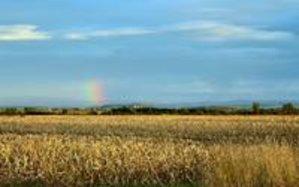 Champ de Maïs dans la plaine de la Limagne